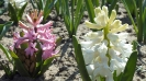 Wiosna w ogrodzie_16